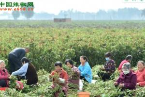 河北邯郸成安县辣椒种植促进村民增收 ()
