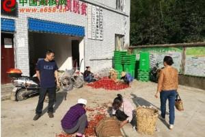 石柱县辣椒种植促进村民脱贫致富 ()