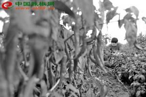 滨州订单辣椒促进农民增收 ()