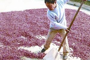 西平县小麦+辣椒模式增收效…