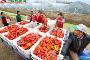 湖南人均消费辣椒40斤是最…