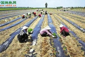 华阴市种植辣椒支持扶贫工…