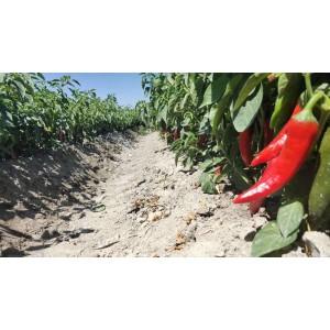 大量供应新疆焉耆色素辣椒