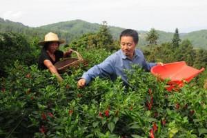 石柱大力发展高产高效农业…