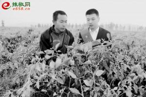 """忻州辣椒""""北京红""""丰收价…"""