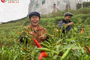 拓展辣椒产业链 引领农民种辣椒 ()