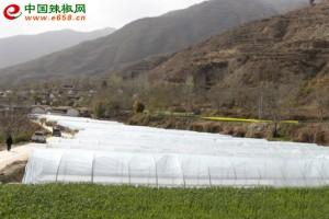 文县万亩辣椒产业全面铺开