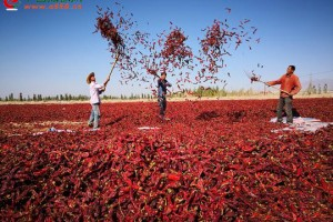 新疆:红辣椒铺满大地 ()