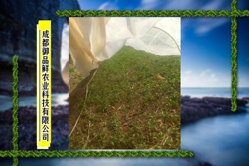 成都御品鲜农业科技有限公司辣椒苗情 ()