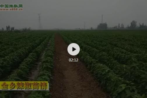 2020年6月山东金乡小辣椒苗情 ()