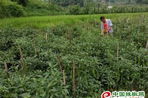 铜梁:辣椒种植实现增产增…