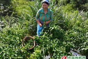 贵州德新:小辣椒成致富大产业 ()