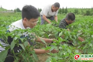 普安县:辣椒长势旺盛,丰收在即 ()