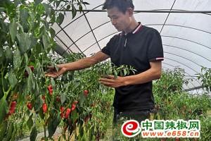 安福县枫田镇:辣椒带动村民日子红火 ()