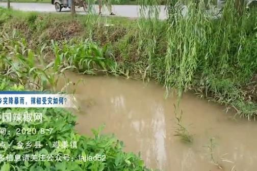 8月6号鱼台和河南辣椒产区强降雨受灾情况(二) ()