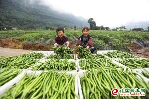 小辣椒产业带动椒农增收致富 ()