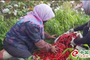 火红的辣椒促进农民走向小康 ()