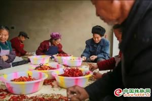 贵州辣椒大量入市  农户分…