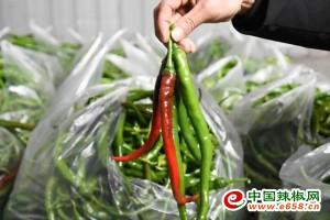 双峰县:连续低温,辣椒受冻 ()