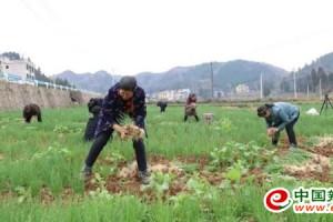 岑巩县:春茬蔬菜陆续上市