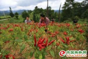 贵州:种植辣椒545万亩 ()