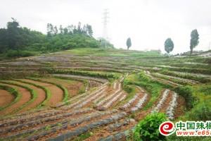 重庆綦江:7万亩辣椒移栽工作正在进行中