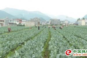 威宁县:蔬菜产业助力乡村振兴