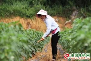 黔西林泉:小辣椒带来大收益