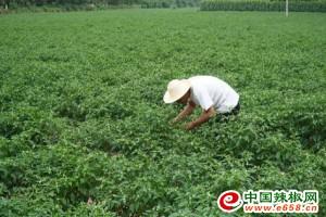 甘肃西和:两千亩辣椒长势旺盛