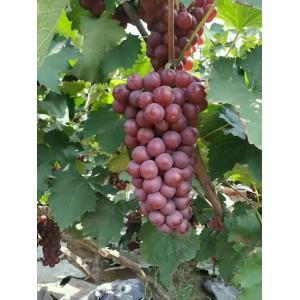 京亚葡萄,巨峰葡萄,青提,A17葡萄