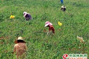 安徽庐江:300多亩辣椒迎来采摘季 ()