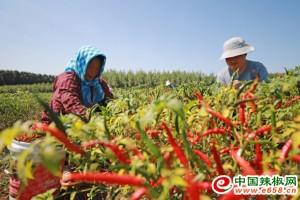 河北玉田:辣椒映红农民的好日子