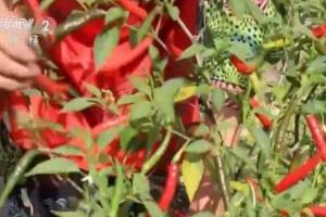 贵州普安:千亩辣椒丰产丰收