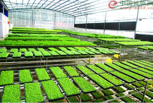 广东引领蔬菜工厂化育苗建设--辣椒产地新闻--辣椒